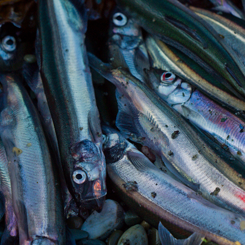 Capelin in a bucket - Middle Cove