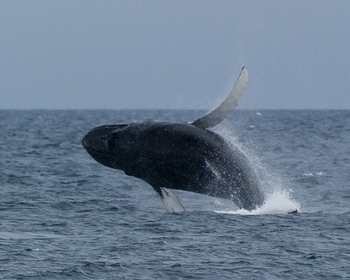 Jumping Humpback - St. Vincent's beach