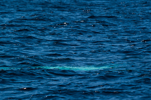A Humpback is about to surface - Bay Bulls
