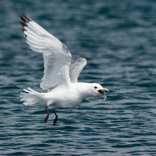 Stuffed Kittiwake - Witless Bay Ecological Reserve