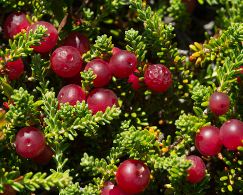 Unripe and unwanted, Crowberries - South Side Hills, St. John's