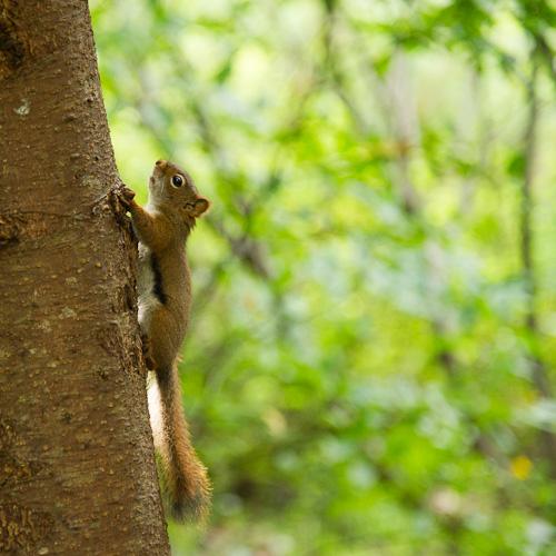 Squirrel - Manuels River Walk