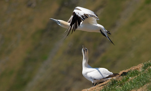 Gannet take-off - Cape St. Mary's Ecological Reserve