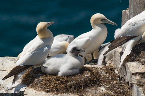 Gannet chick - Cape St. Mary's Ecological Reserve