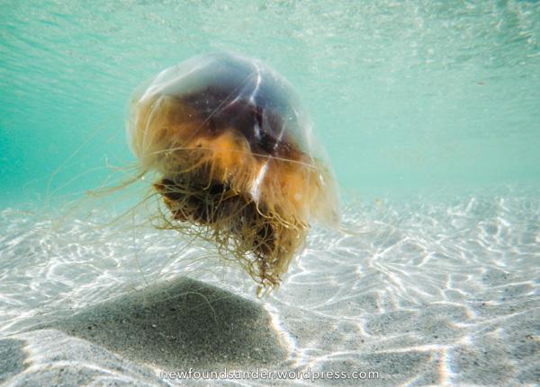Lion's Mane Jellyfish, underwater - Sandy Cove, Fogo Island