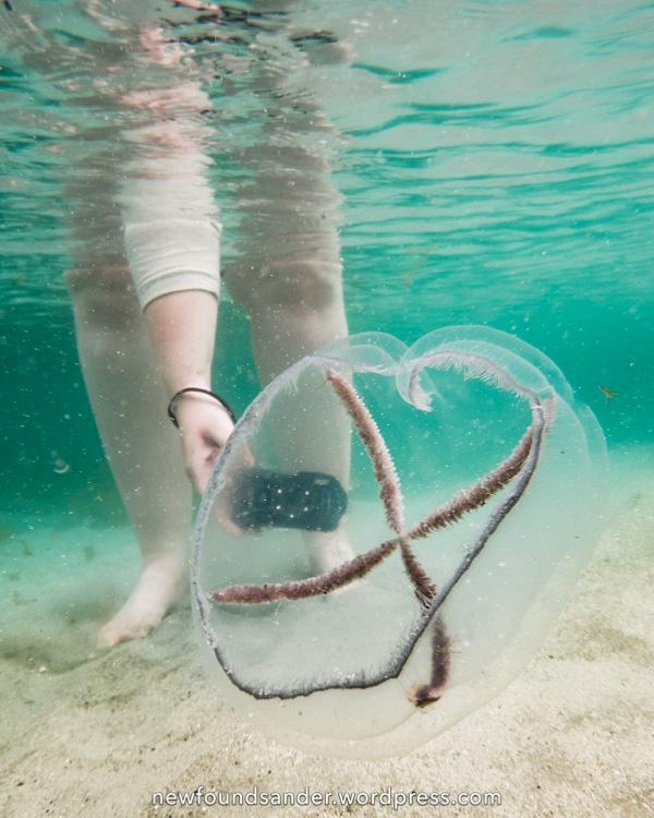 Cross Jellyfish, underwater - Sandy Cove, Fogo Island