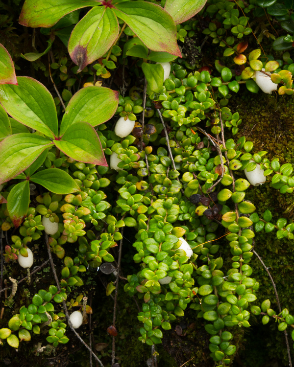 Creeping Snowberries - Skerwink Trail