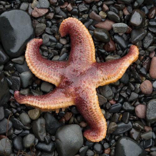 Starfish - Grebe's Nest, Bell Island