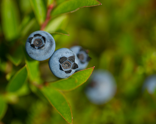 Blueberries, good to go - Biscan Cove Path