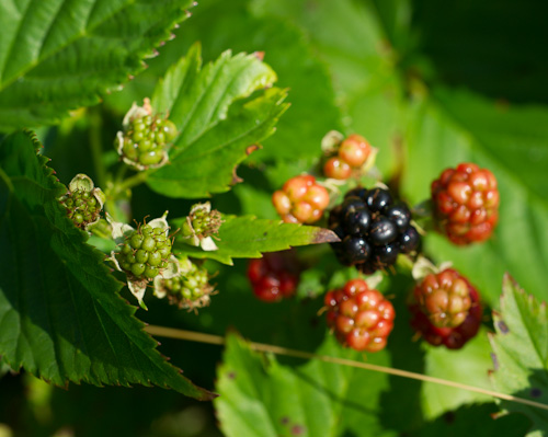 Blackberries, from green to black - Stiles Cove Path
