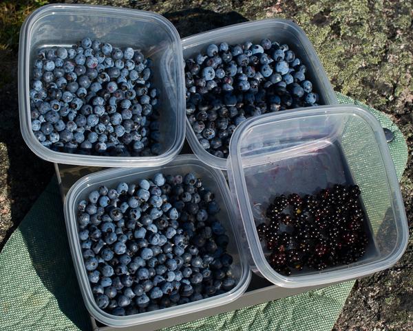 Blueberries & Blackberries - Deadmans Bay Path