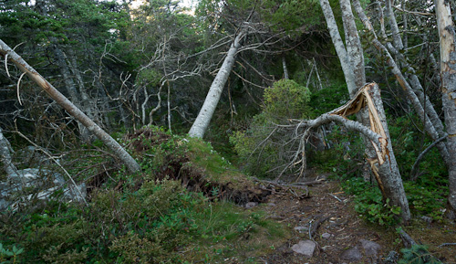 Trees on the trail - Cape Spear Path