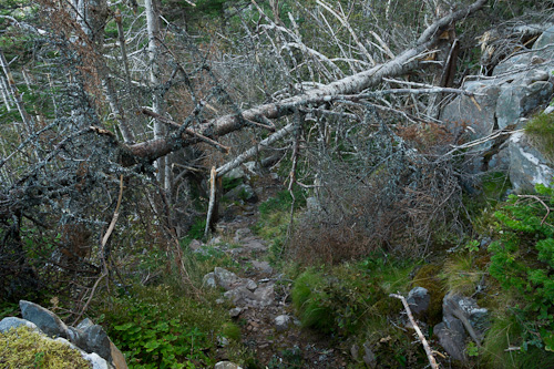 More trees on the trail - Cape Spear Path