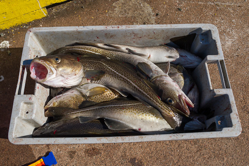 Codfish - St. John's