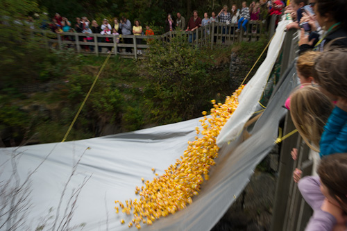 The duck race starts - Rennie's River, St. John's