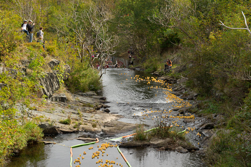 The duck race starts for real - Rennie's River, St. John's