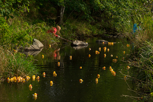 Helping the stuck ducks - Rennie's River, St. John's