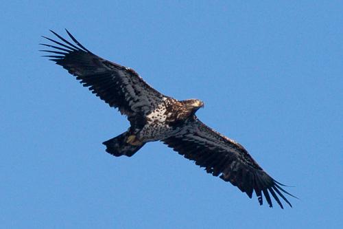 Juvenile Bald Eagle - Cobbler Path