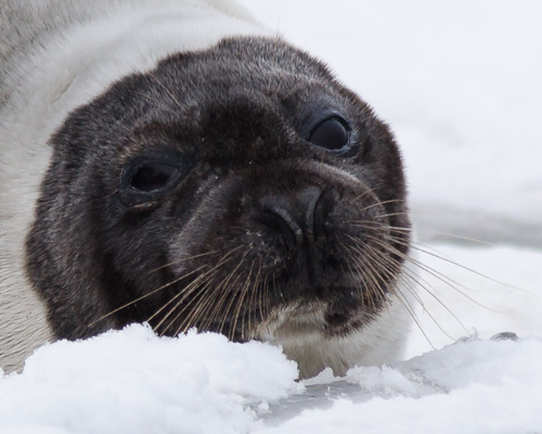 Harp Seal snout - Holyrood