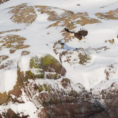 Bald Eagle touches down - Logy Bay