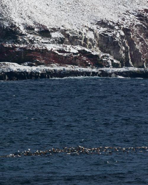 Eider Ducks - Witless Bay Ecological Reserve