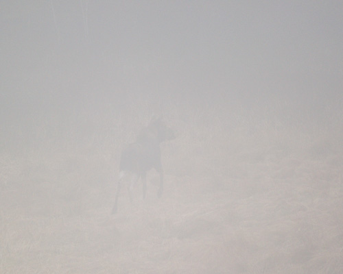 Moose in the fog - Logy Bay