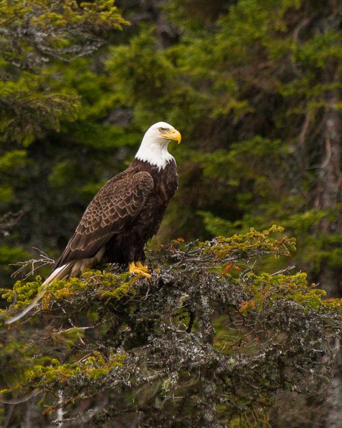 Bald Eagle - Logy Bay