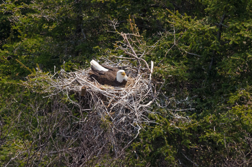 Eagle on its nest - Cuckolds Cove Trail