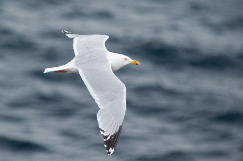 Herring Gull - Father Troy's Trail