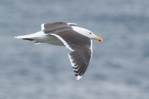 Great Black-backed Gull - Father Troy's Trail