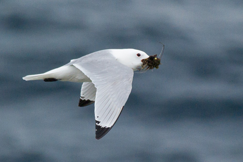 Black-legged Kittiwake - Father Troy's Trail