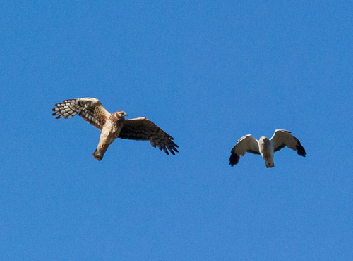 Northern Harriers - East Coast Trail