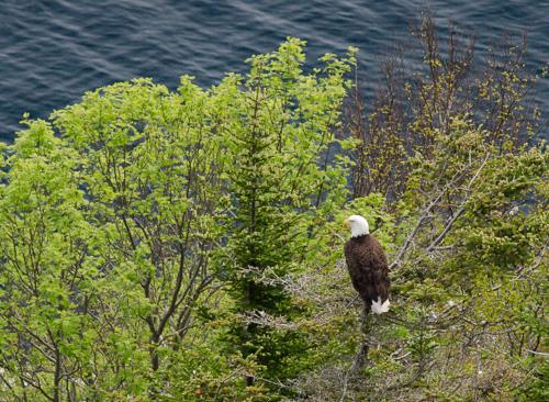 Bald Eagle - Cuckolds Cove Trail