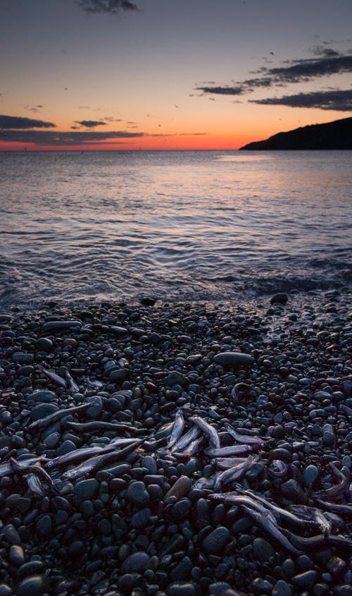 Capelin at sunrise - Middle Cove beach