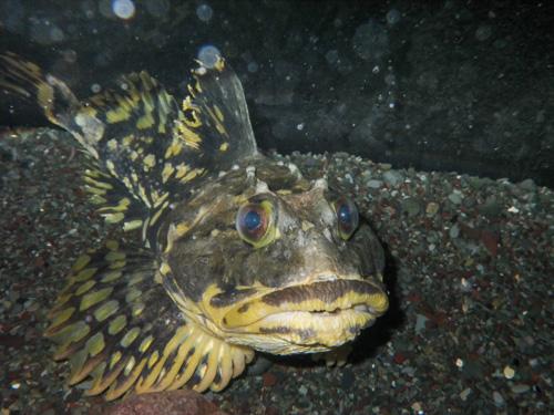 Sculpin - Petty Harbour mini aquarium