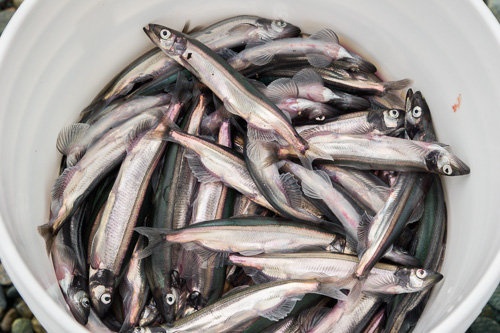 A bucket of capelin - Beachy Cove