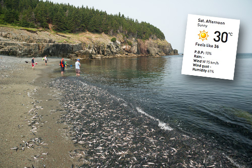 A warm day to see the capelin roll - Middle Cove