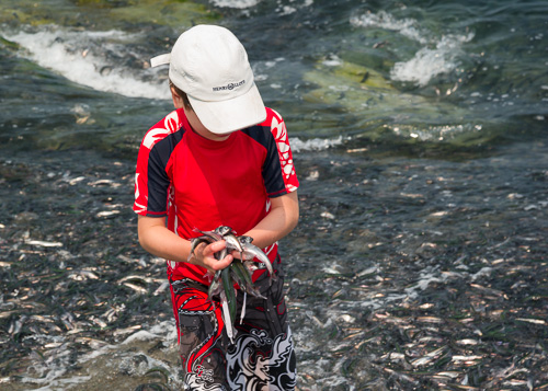 A handful of capelin - Middle Cove