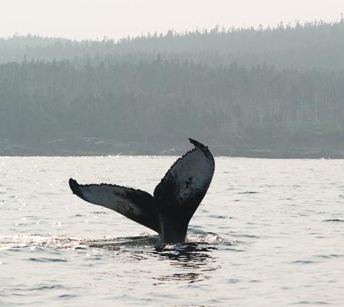 Humpback fluke - Mobile Bay