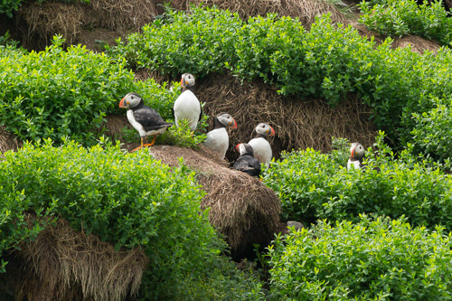 Adult Puffins and their burrows - Pee Pee Island, Witless Bay Ecological Reserve