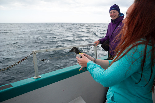 Puffin Patrol, chick release - Witless Bay Ecological Reserve