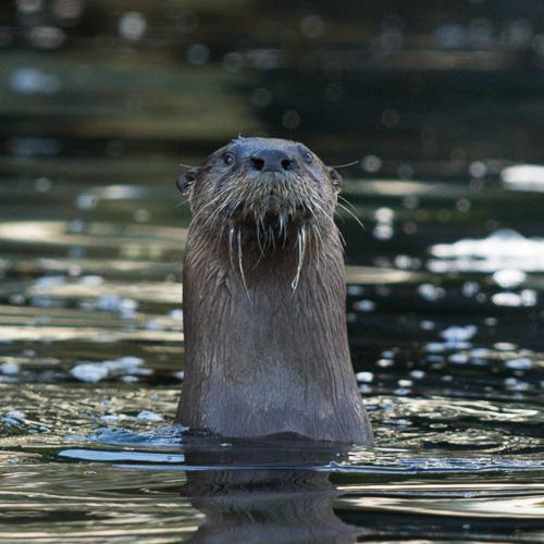 River Otter - Mobile