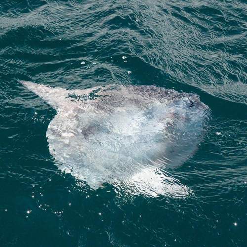 Ocean Sunfish - Witless Bay Ecological Reserve