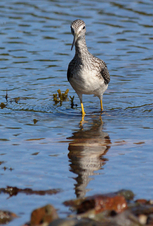 Greater Yellowlegs, looking for lunch - Aquaforte