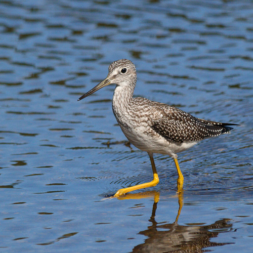 Greater Yellowlegs, keeping an eye on me - Aquaforte