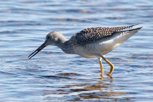 Greater Yellowlegs, eating a small crustacean - Aquaforte