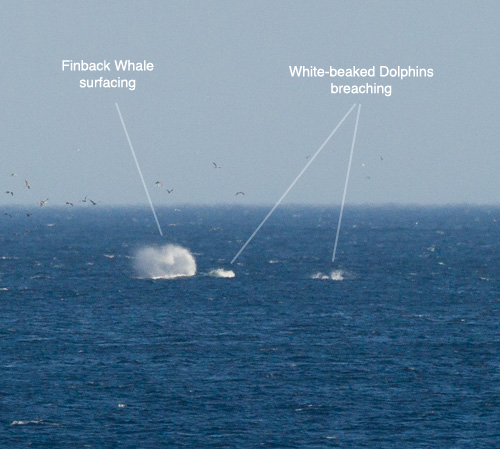 Finback Whales and White-beaked Dolphins - La Manche Bay