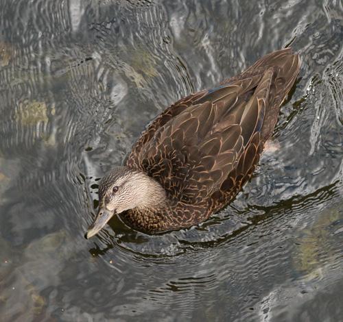 Duck - Bowring Park, St. John's