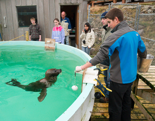 Training the seals - Ocean Sciences Centre, Logy Bay