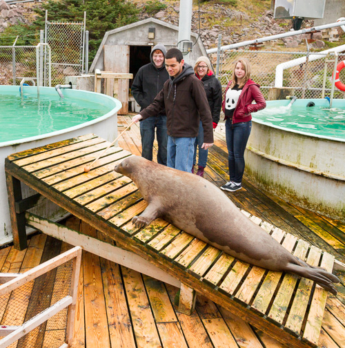 Getting a seal to go into the tank - Ocean Sciences Centre, Logy Bay